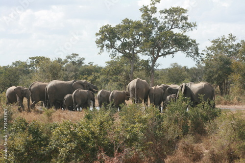Elephant herd in the Kruger National Park