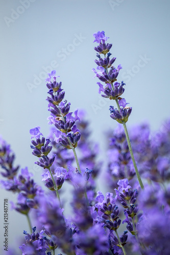 Beautiful flowers of blooming lavender with clear blue background. Summer, Czech Republic. © TashaBubo