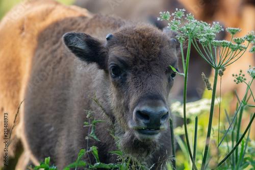 Fotobehang Bison Young Wisent calf - european Bison