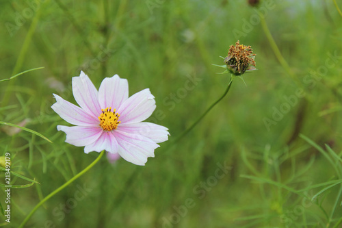 Cosmos flower (Cosmos Bipinnatus) with blurred background - 213492179