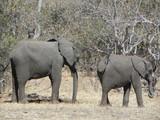 African Elephants Chobe Botswana Africa