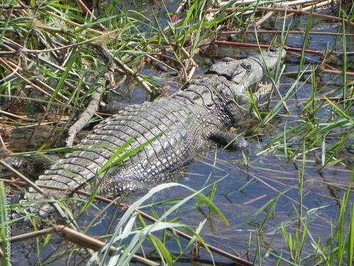 Nile Crocodile - 213493740