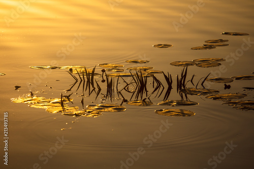 Reeds in the reflection of the lake at sunset