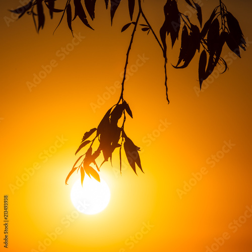 Foto Murales Leaves on the branches of a tree against the setting sun