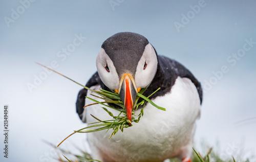 Fotobehang Pinguin Atlantic puffins in Iceland