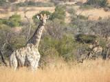 Wild Giraffe Africa - 213495534