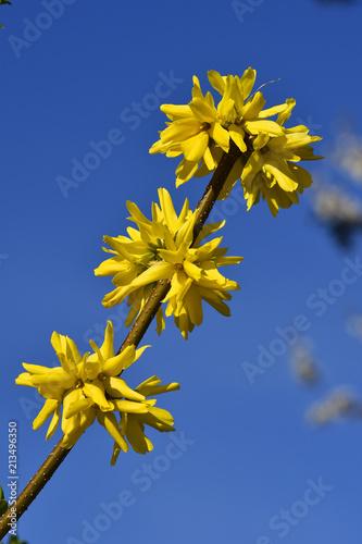 Leinwanddruck Bild Forsythie; Forsythia × intermedia;Garten-Forsythie, Goldflieder; Goldgloeckchen;