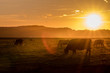 Cow in sunset