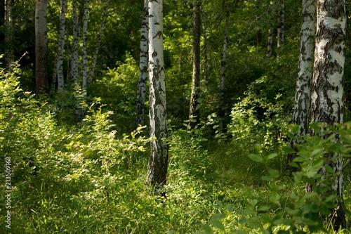 Foto Spatwand Berkenbos birches. birch grove. green forest. summer