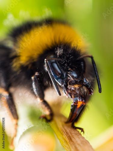 Honey bee - 213510928