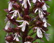Leinwanddruck Bild - Purpur-Knabenkraut; Orchis purpurea;Knabenkraut; Orchidee;