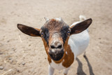 Close up portrait of a funny goat - 213511321