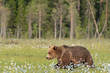 Brown bear (Ursus arctos) walking on a Finnish bog on a sunny summer evening