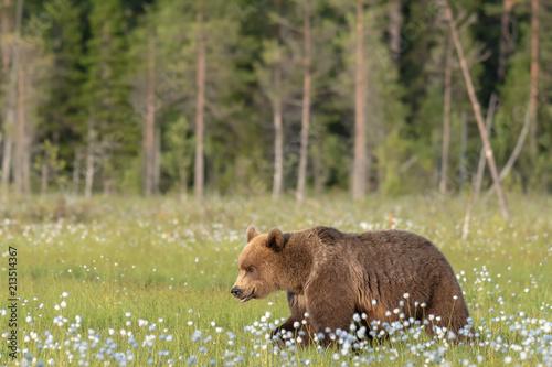 Brown niedźwiedź chodzi na Fińskim bagnie na pogodnym lato wieczór (Ursus arctos)