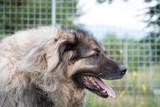 Big, shepherd dog portrait - 213517169