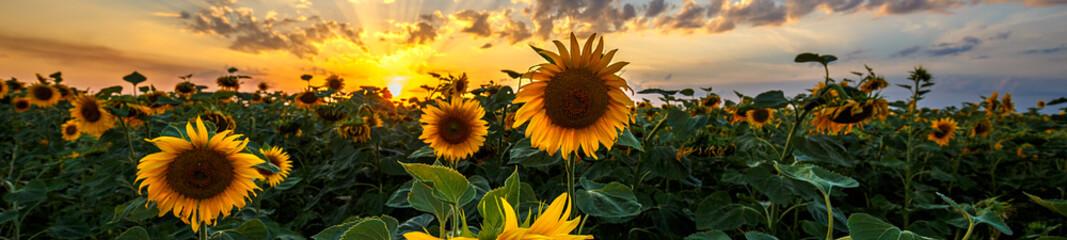 Summer landscape: beauty sunset over sunflowers field. Panoramic views © ruslan_khismatov