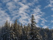 A thick forest of fir trees in the Deschutes National Forest covered with fresh snow on a sunny winter afternoon.