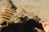 African ground squirrels with outstretched paws on the rock on the Canary Island Fuerteventura - 213521731