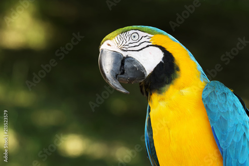 Fototapeta Blue and yellow macaw (Ara ararauna) portrait