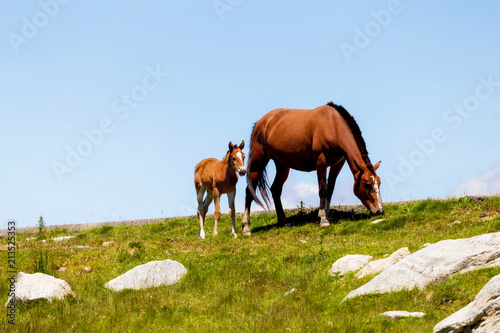 Fototapeta Wild horses in Transylvania, Romania. Mare and Foal together in the green meadow