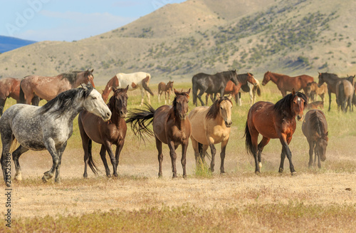 Wild Horses in the Utah Desert in Summer