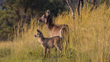 Waterbuck and Baby - 213525593