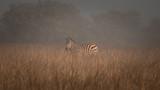 Zebra in the Mist - 213525782