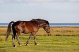 Pferd in den Salzwiesen am Wattenmeer auf der ostfriesischen Nordseeinsel Juist in Deutschland, Europa. - 213534153