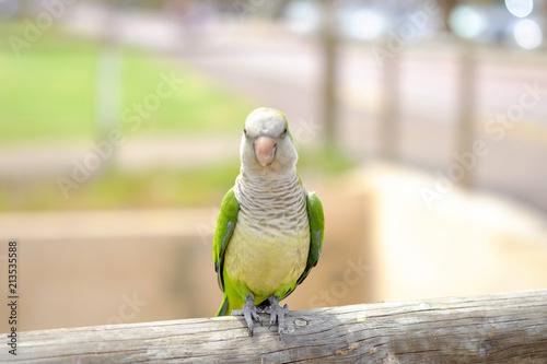 Fototapeta Amazon green parrot in nature on the Canary Island of Fuerteventura, Spain.