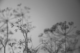 Umbrella sprout of dill. Black and white photo - 213539155