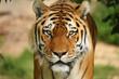 Wartender Tiger