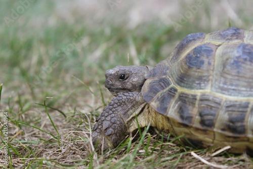 Foto Spatwand Schildpad Russische Vierzehen-Schildkröte (Testudo horsfieldii) in einer Nahaufnahme