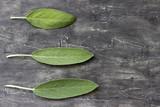 Sage leaf.Fresh leaf of sage on a wooden surface - 213541926