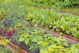 Vegetable garden in the backyard. Vegetable garden from the beds in wooden boxes. - 213552982