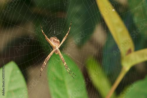 Fototapeta Spider garden-spider. Macro photo of garden spider on spider web over natural background in Brazil