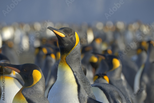 Fotobehang Pinguin King Penguins, South Georgia Island, Antarctic