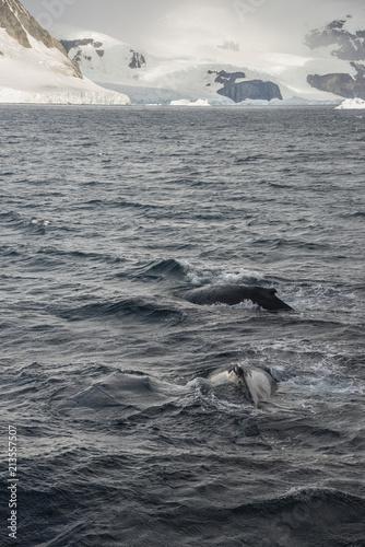 Foto Spatwand Antarctica Humpbacks in Antarctica [DSLR 2043]