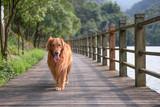 Golden Retriever in a walk - 213562598