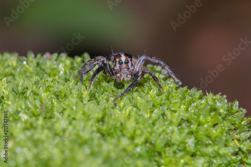 A jumping spider in nature background.macro spider,eyes focus. - 213567968