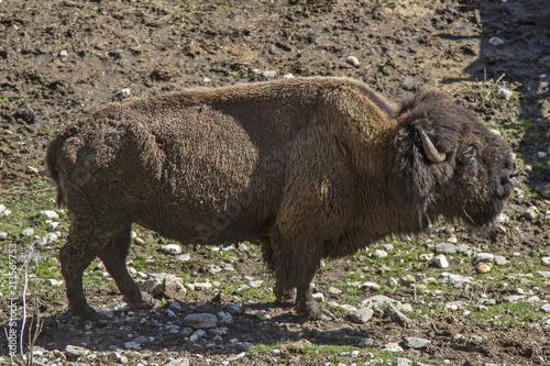 Fotobehang Bison Bisons im Trentino