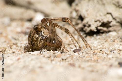 Fototapeta Araneus diadematus, the spider pho Czech republic, Europe