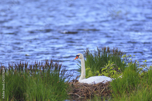 Fotobehang Zwaan Mute Swan nests