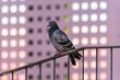 都会の動物たち 夕焼けの反射するビルと鳩