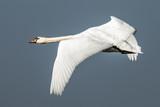 Swan, Cygnini - 213580960