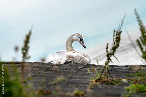 Fotobehang Zwaan Swan resting by the water on a rock