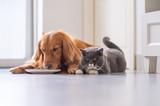 Golden Retriever lying and the British short hair cat - 213584576