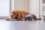 Golden Retriever lying and the British short hair cat - 213584778