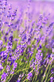 Lavender Field in the summer - 213591914