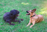 Dogs. bergamasco shepherd is german shepherd