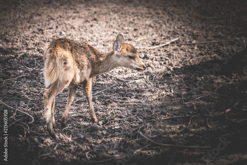 Fototapeta Sick Dying small deer animal without parent